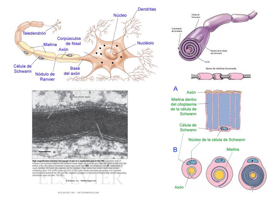 http://www.efn.uncor.edu/departamentos/divbioeco/anatocom/Biologia/Los%20Sistemas/Nervioso/tejidonervioso.htm