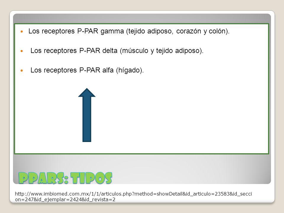 Los receptores P-PAR gamma (tejido adiposo, corazón y colón).