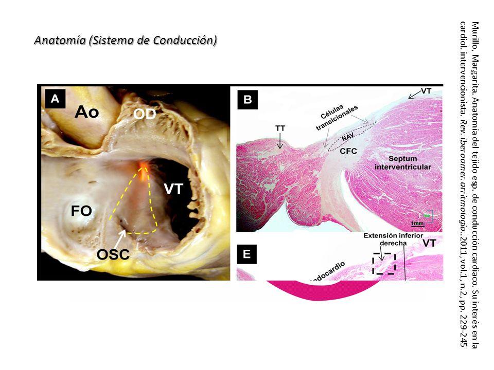 Anatomía (Sistema de Conducción)