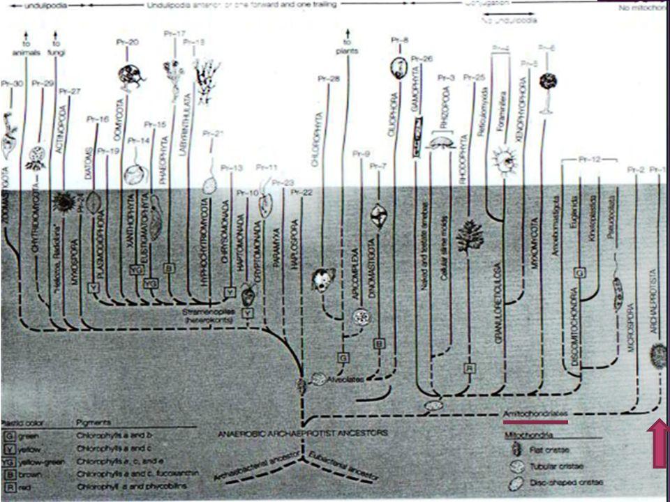 Filogenia Debido a la características del genero es considerado como de los grupos mas primitivos dentro de los eucariotas vivos.