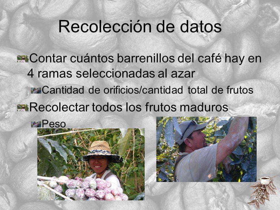 Recolección de datos Contar cuántos barrenillos del café hay en 4 ramas seleccionadas al azar. Cantidad de orificios/cantidad total de frutos.