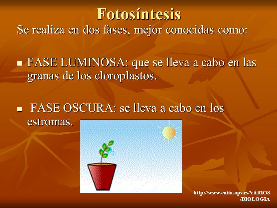 Fotosíntesis Se realiza en dos fases, mejor conocidas como: