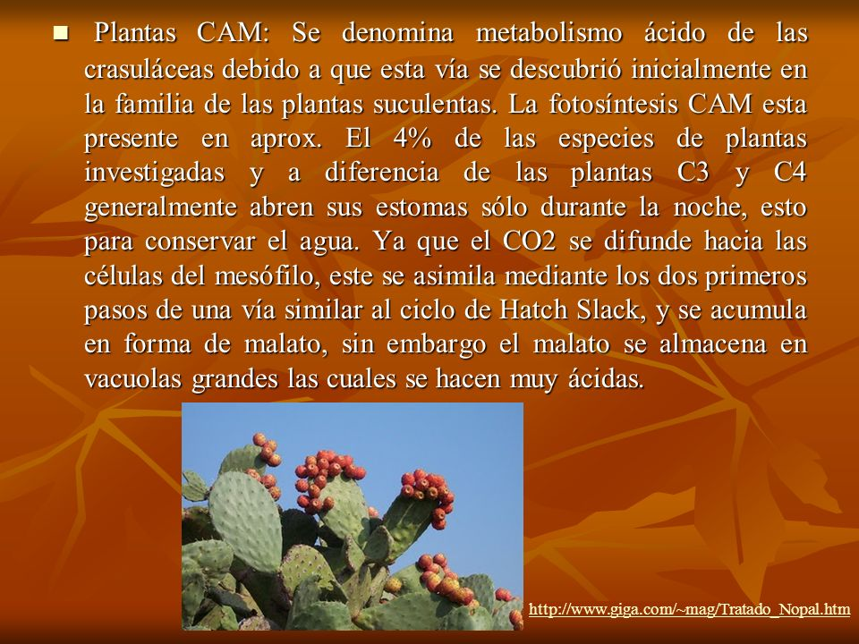 Plantas CAM: Se denomina metabolismo ácido de las crasuláceas debido a que esta vía se descubrió inicialmente en la familia de las plantas suculentas. La fotosíntesis CAM esta presente en aprox. El 4% de las especies de plantas investigadas y a diferencia de las plantas C3 y C4 generalmente abren sus estomas sólo durante la noche, esto para conservar el agua. Ya que el CO2 se difunde hacia las células del mesófilo, este se asimila mediante los dos primeros pasos de una vía similar al ciclo de Hatch Slack, y se acumula en forma de malato, sin embargo el malato se almacena en vacuolas grandes las cuales se hacen muy ácidas.