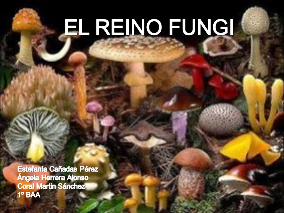 EL REINO FUNGI Estefanía Cañadas Pérez Ángela Herrera Alonso