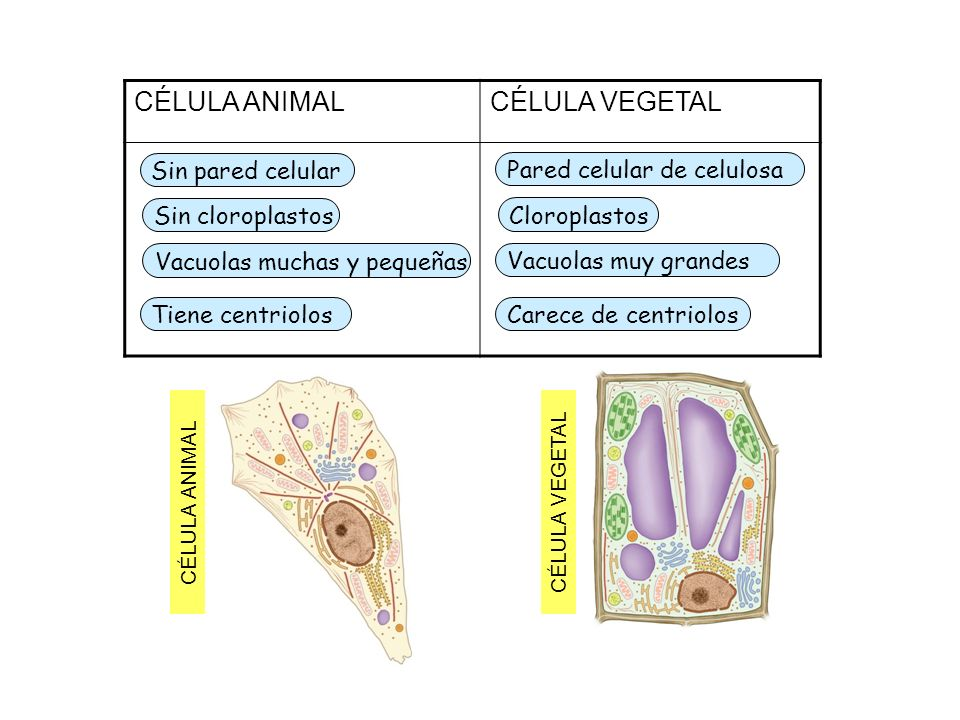 CÉLULA ANIMAL CÉLULA VEGETAL Sin pared celular
