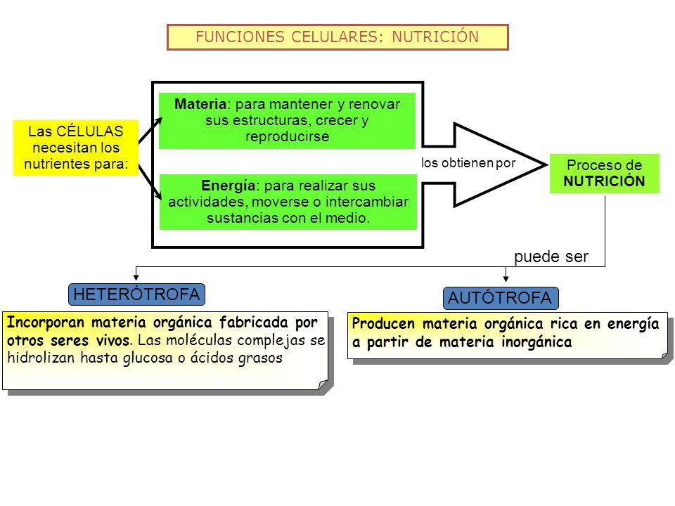 puede ser HETERÓTROFA AUTÓTROFA FUNCIONES CELULARES: NUTRICIÓN