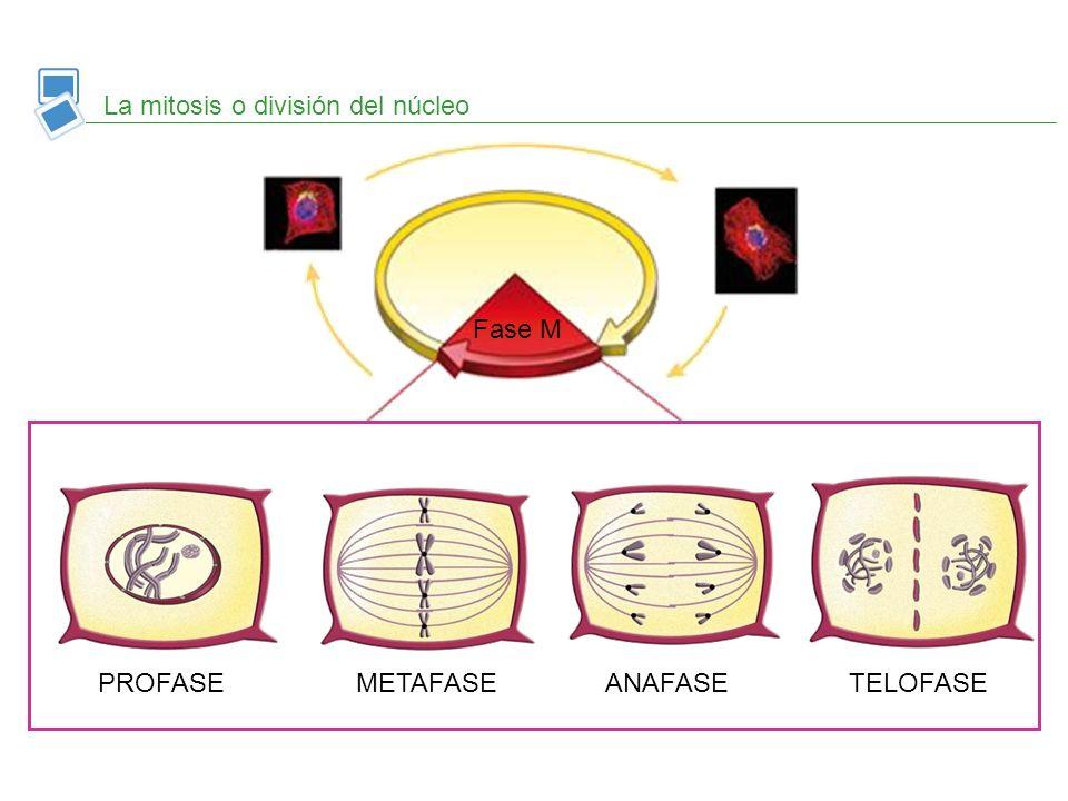 Condensación de la cromatina