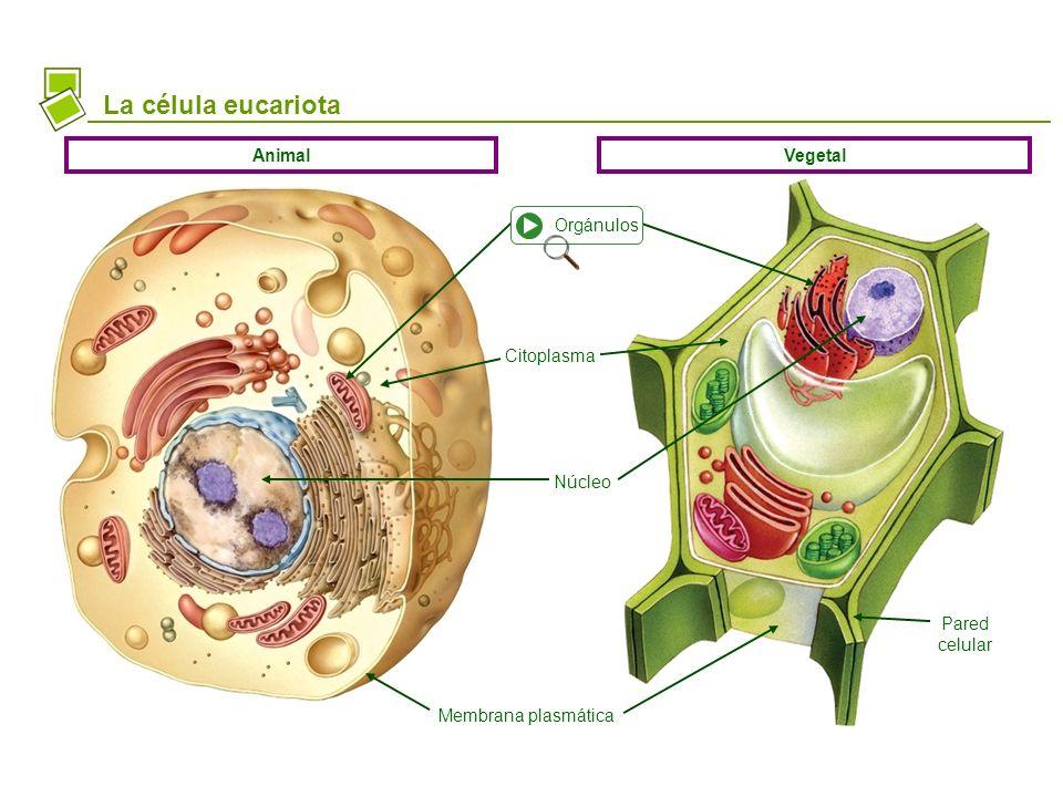 La célula eucariota Animal Vegetal Orgánulos Citoplasma Núcleo
