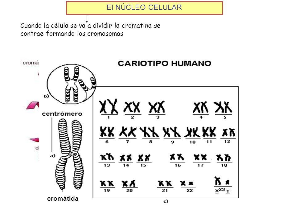 El NÚCLEO CELULARCuando la célula se va a dividir la cromatina se contrae formando los cromosomas.
