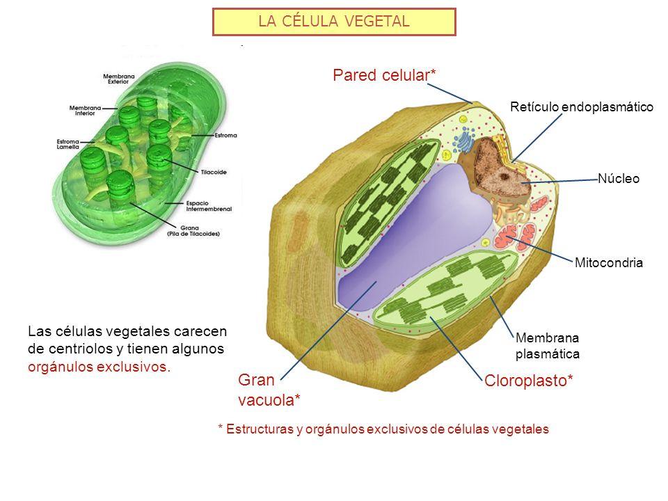 * Estructuras y orgánulos exclusivos de células vegetales