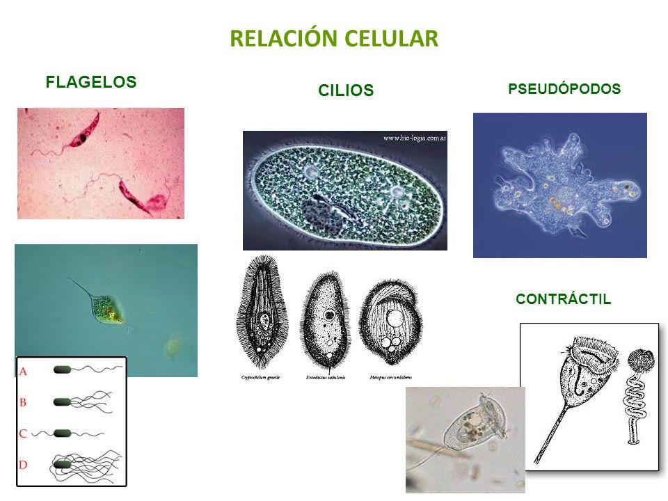 RELACIÓN CELULAR FLAGELOS CILIOS PSEUDÓPODOS CONTRÁCTIL