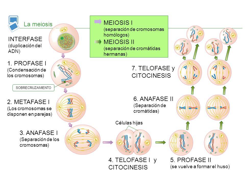 MEIOSIS I (separación de cromosomas homólogos) La meiosis