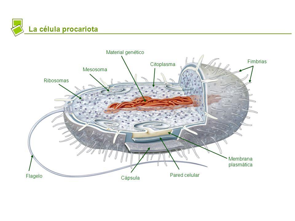 La célula procariota Material genético Fimbrias Citoplasma Mesosoma