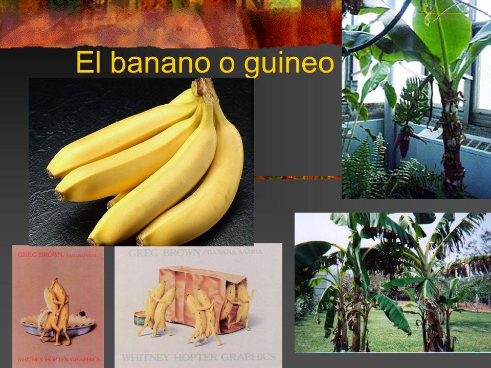El banano o guineo