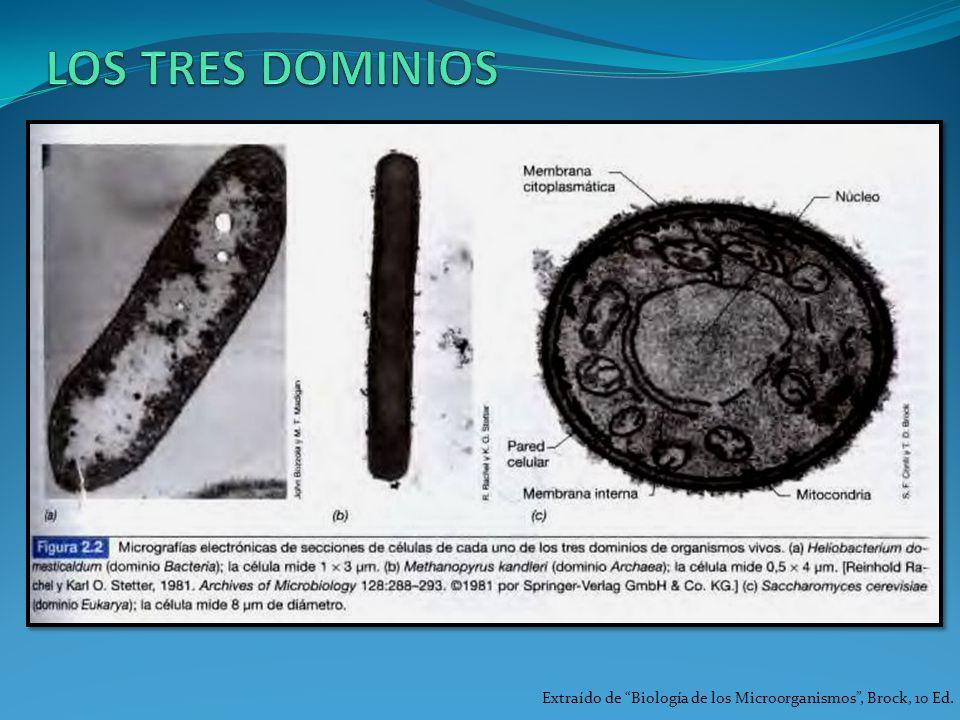 LOS TRES DOMINIOS Extraído de Biología de los Microorganismos , Brock, 10 Ed.