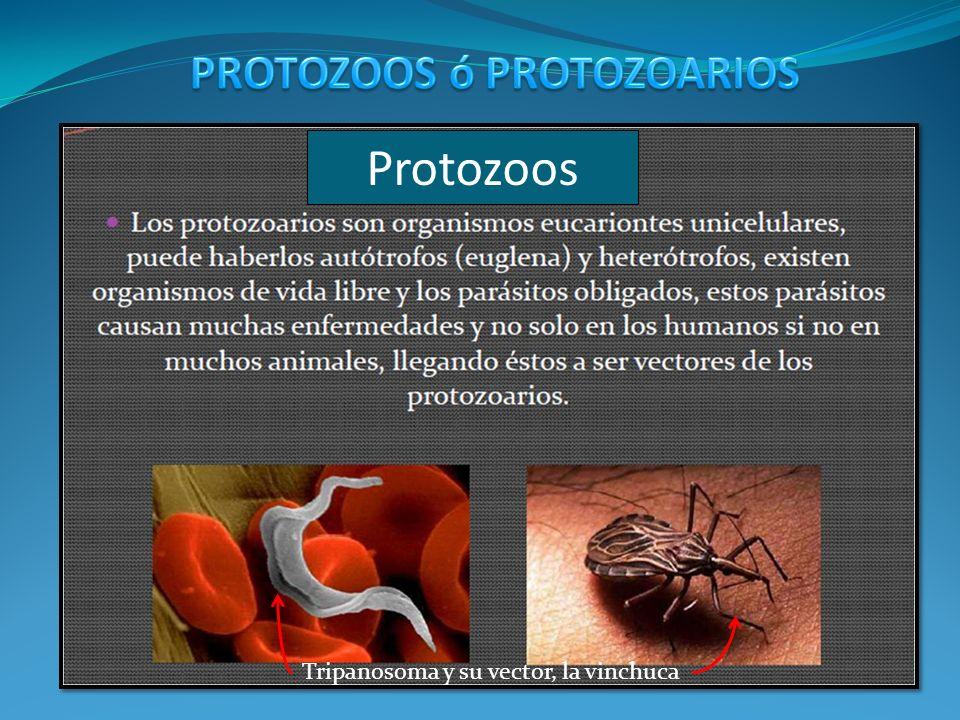 Protozoos PROTOZOOS ó PROTOZOARIOS
