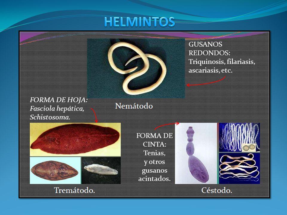 HELMINTOS GUSANOS REDONDOS: Triquinosis, filariasis, ascariasis, etc.