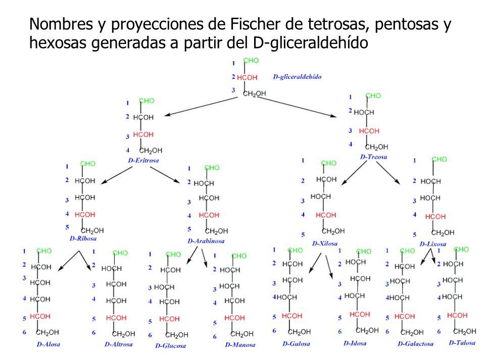 Nombres y proyecciones de Fischer de tetrosas, pentosas y hexosas generadas a partir del D-gliceraldehído