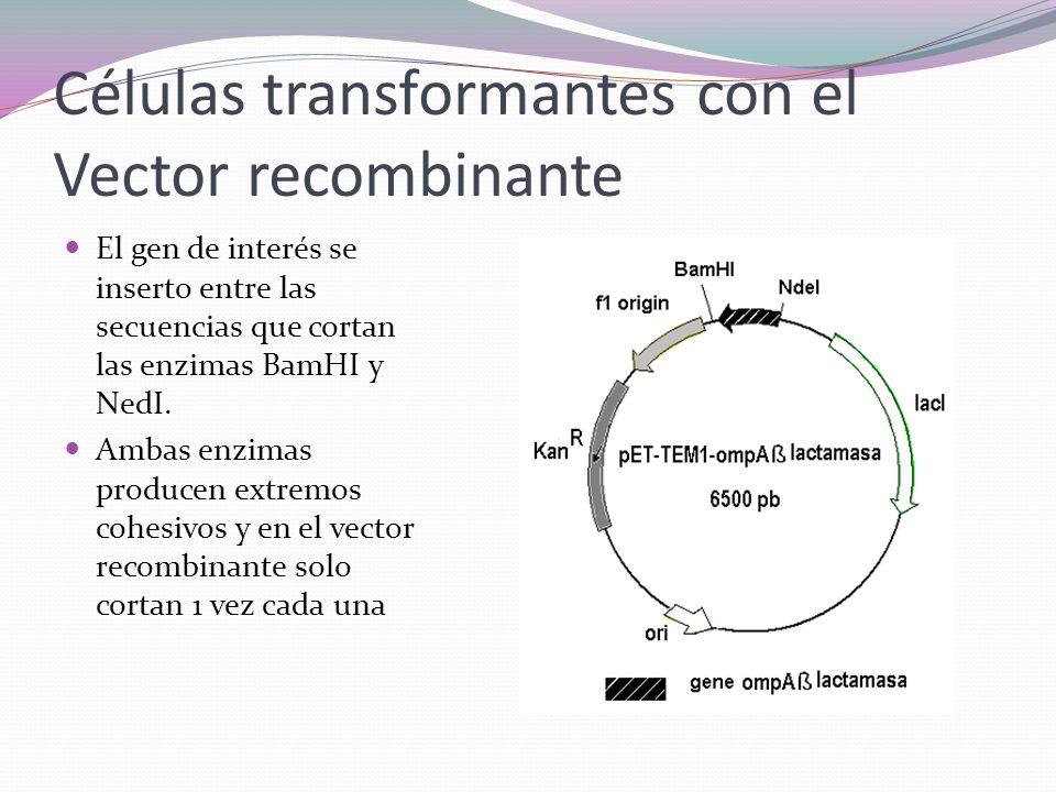 Células transformantes con el Vector recombinante