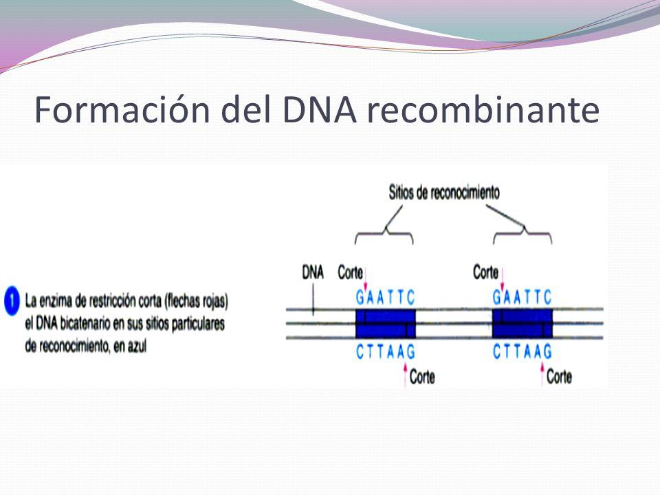 Formación del DNA recombinante