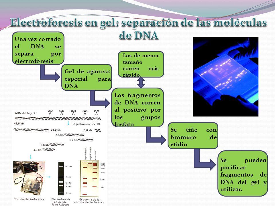 Electroforesis en gel: separación de las moléculas de DNA