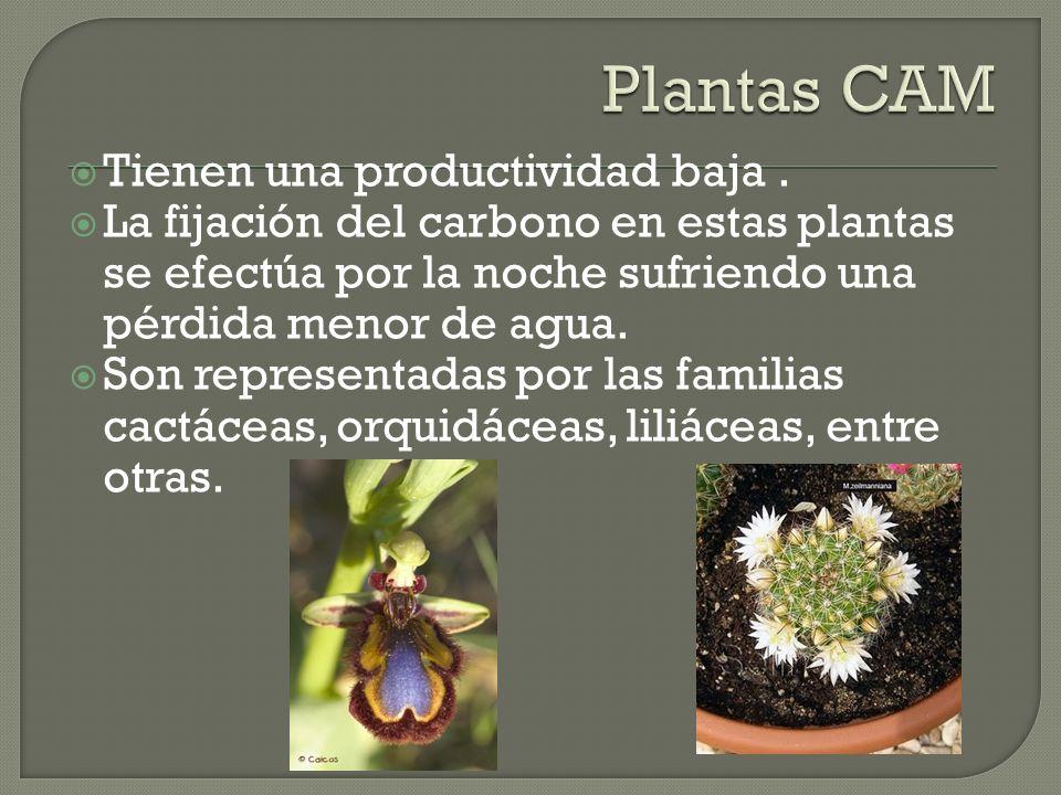Plantas CAM Tienen una productividad baja .