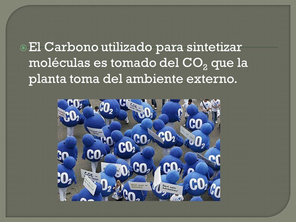El Carbono utilizado para sintetizar moléculas es tomado del CO2 que la planta toma del ambiente externo.