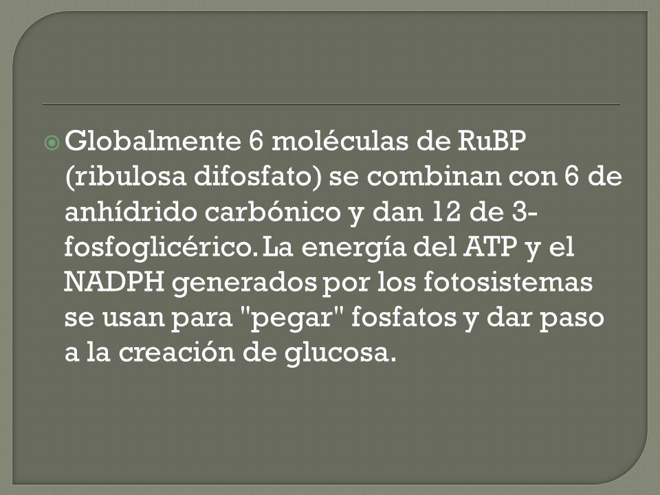 Globalmente 6 moléculas de RuBP (ribulosa difosfato) se combinan con 6 de anhídrido carbónico y dan 12 de 3-fosfoglicérico.