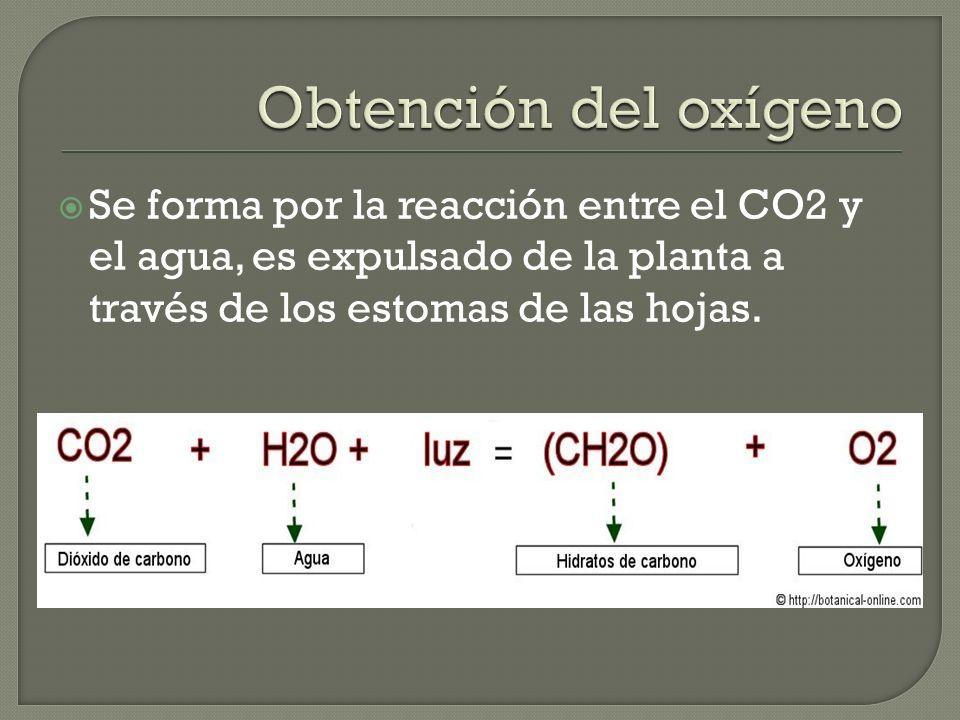 Obtención del oxígeno Se forma por la reacción entre el CO2 y el agua, es expulsado de la planta a través de los estomas de las hojas.