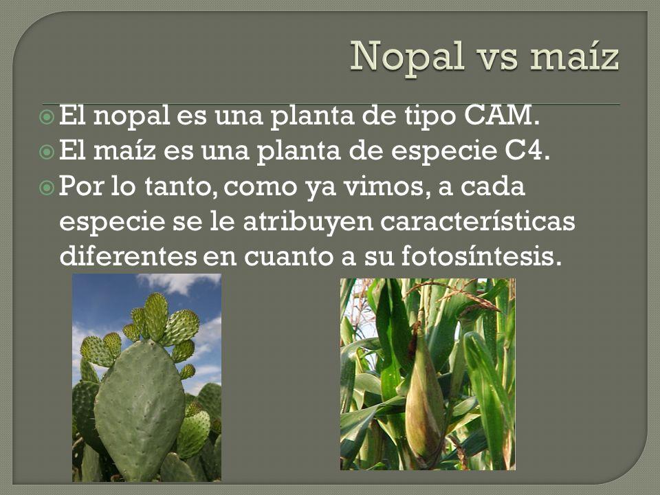 Nopal vs maíz El nopal es una planta de tipo CAM.