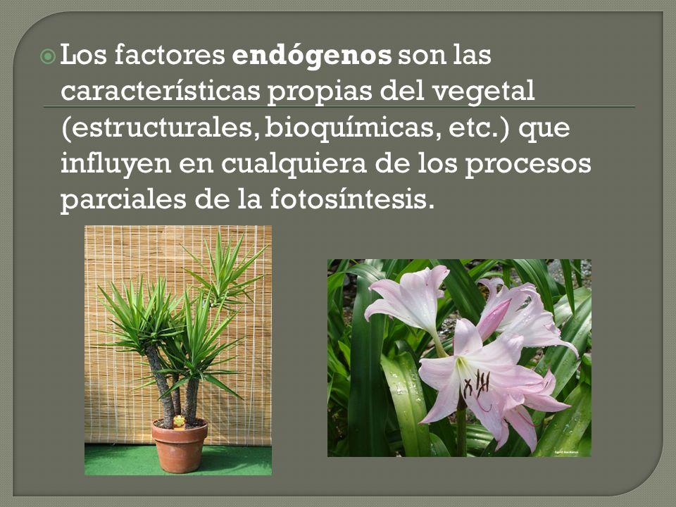 Los factores endógenos son las características propias del vegetal (estructurales, bioquímicas, etc.) que influyen en cualquiera de los procesos parciales de la fotosíntesis.