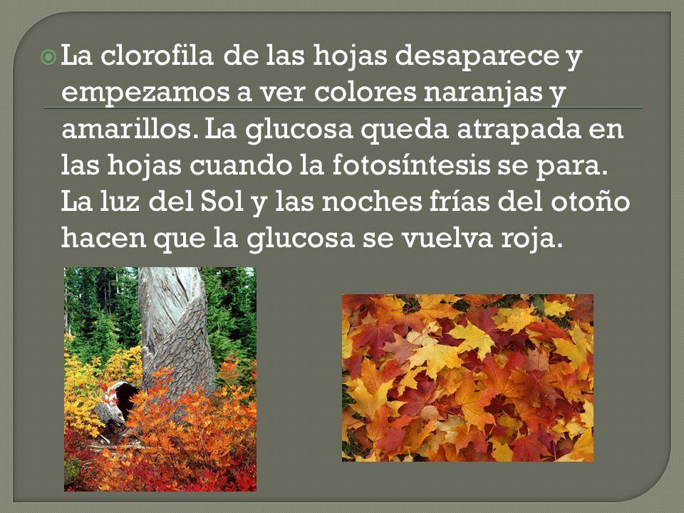 La clorofila de las hojas desaparece y empezamos a ver colores naranjas y amarillos.