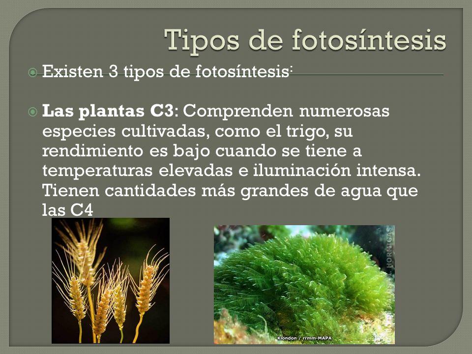 Tipos de fotosíntesis Existen 3 tipos de fotosíntesis:
