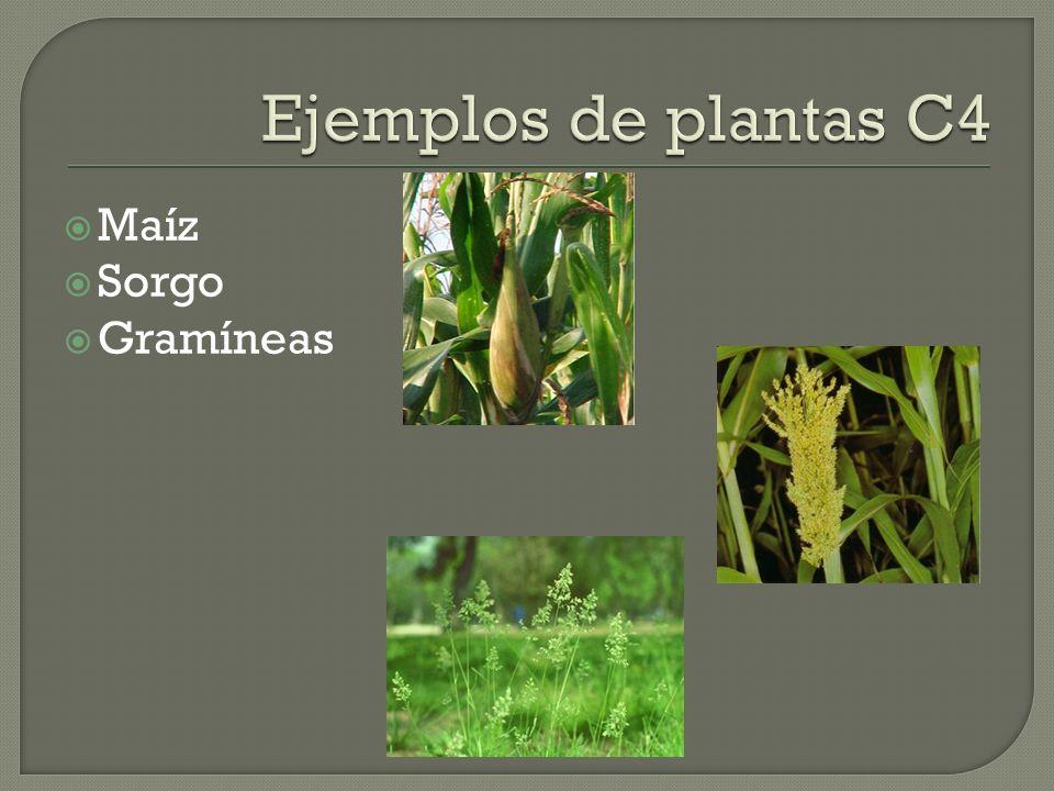 Ejemplos de plantas C4 Maíz Sorgo Gramíneas