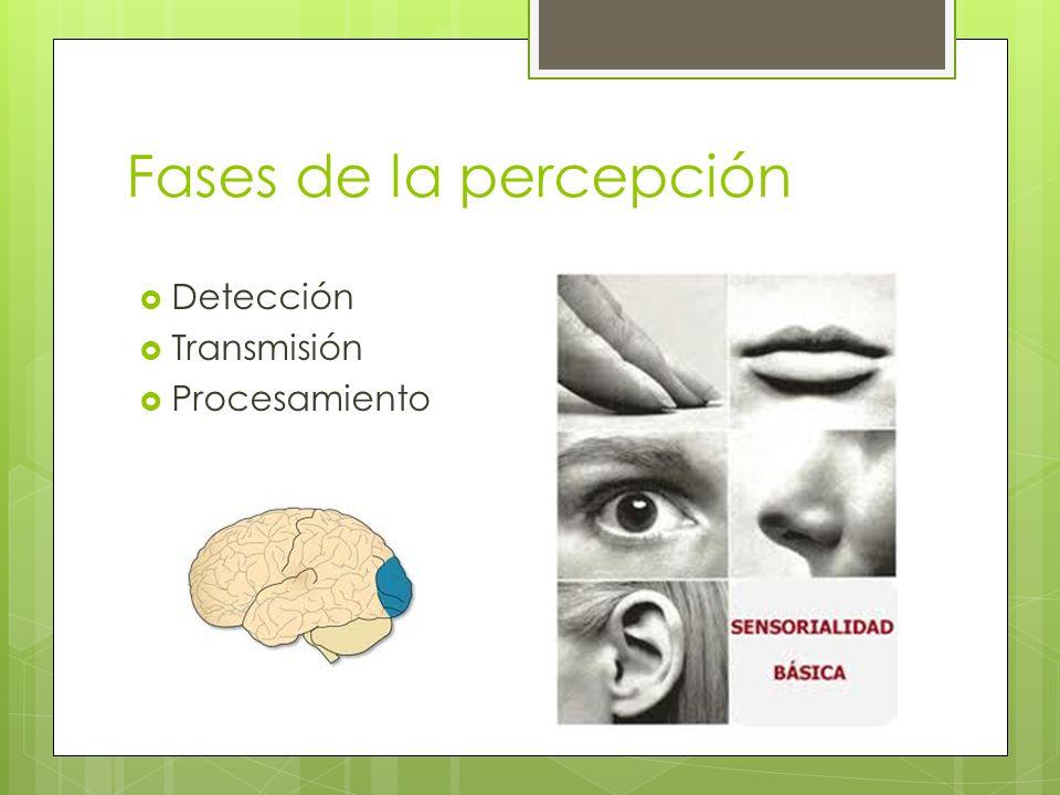 Fases de la percepción Detección Transmisión Procesamiento