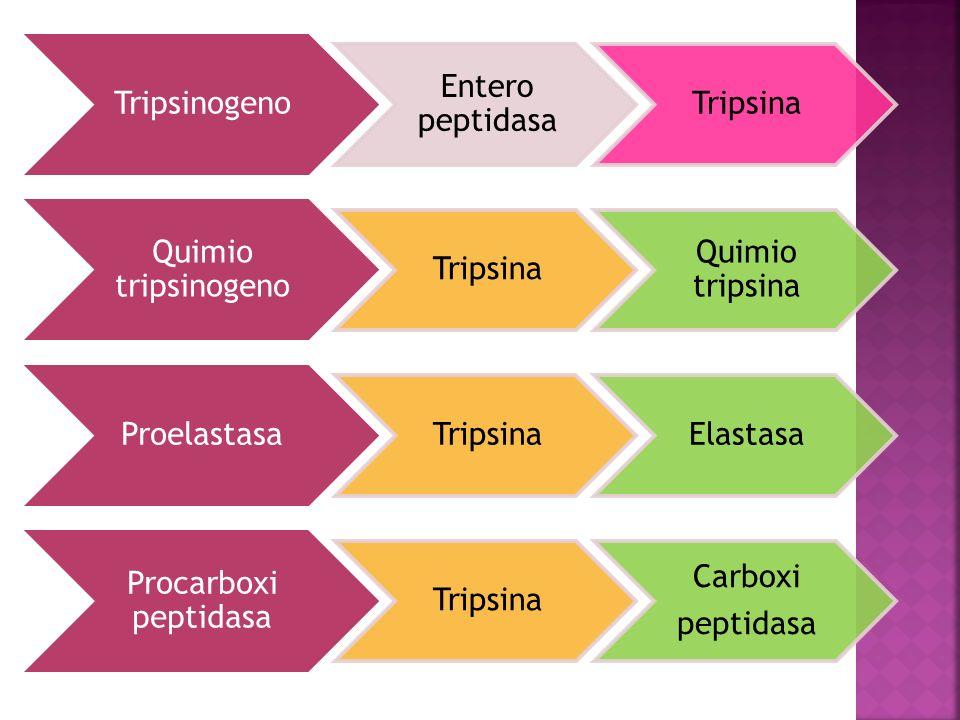 Tripsinogeno Entero peptidasa. Tripsina. Quimio tripsinogeno. Quimio tripsina. Proelastasa. Elastasa.