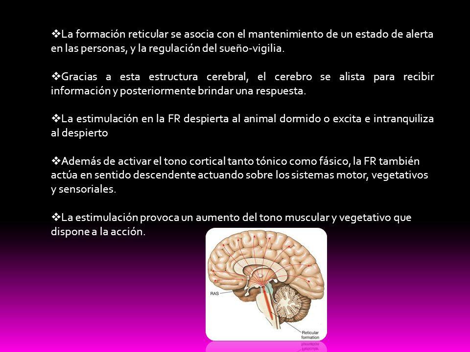 La formación reticular se asocia con el mantenimiento de un estado de alerta en las personas, y la regulación del sueño-vigilia.