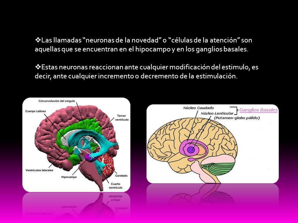 Las llamadas neuronas de la novedad o células de la atención son aquellas que se encuentran en el hipocampo y en los ganglios basales.