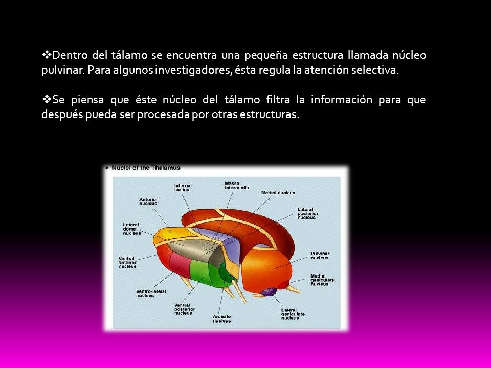 Dentro del tálamo se encuentra una pequeña estructura llamada núcleo pulvinar. Para algunos investigadores, ésta regula la atención selectiva.