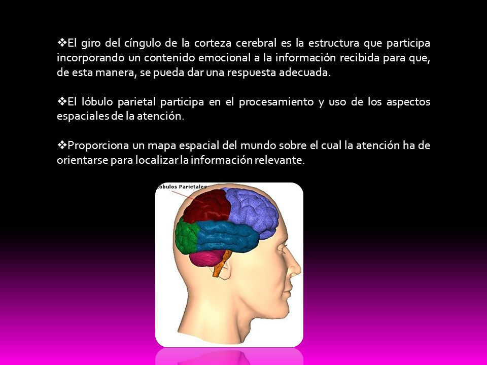 El giro del cíngulo de la corteza cerebral es la estructura que participa incorporando un contenido emocional a la información recibida para que, de esta manera, se pueda dar una respuesta adecuada.