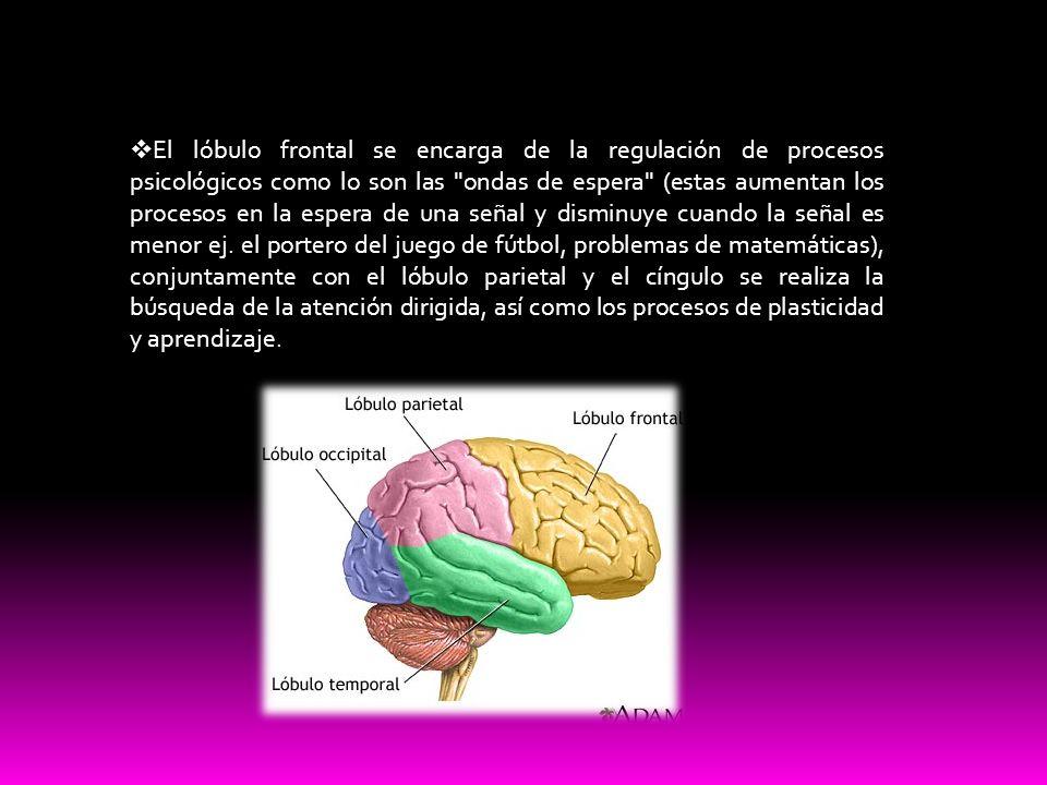 El lóbulo frontal se encarga de la regulación de procesos psicológicos como lo son las ondas de espera (estas aumentan los procesos en la espera de una señal y disminuye cuando la señal es menor ej.