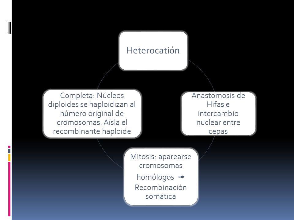 Heterocatión Anastomosis de Hifas e intercambio nuclear entre cepas. Mitosis: aparearse cromosomas homólogos ➟ Recombinación somática.