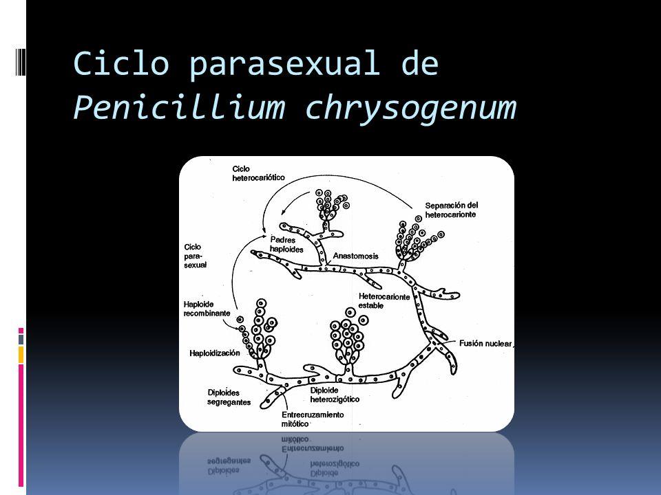 Ciclo parasexual de Penicillium chrysogenum