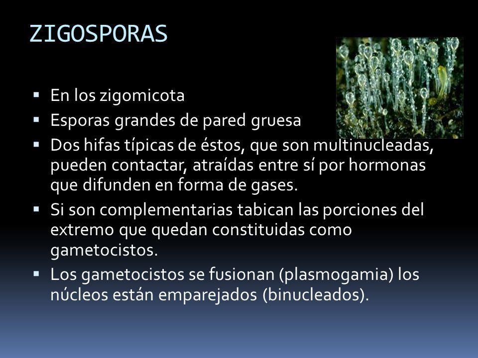 ZIGOSPORAS En los zigomicota Esporas grandes de pared gruesa
