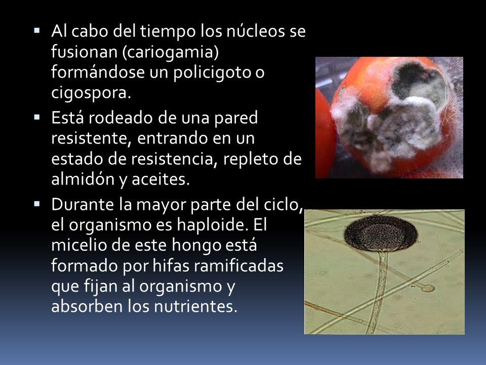 Al cabo del tiempo los núcleos se fusionan (cariogamia) formándose un policigoto o cigospora.