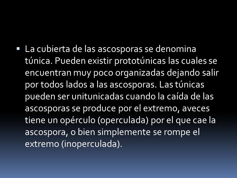 La cubierta de las ascosporas se denomina túnica