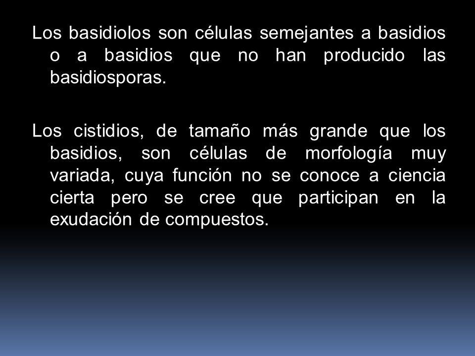 Los basidiolos son células semejantes a basidios o a basidios que no han producido las basidiosporas.