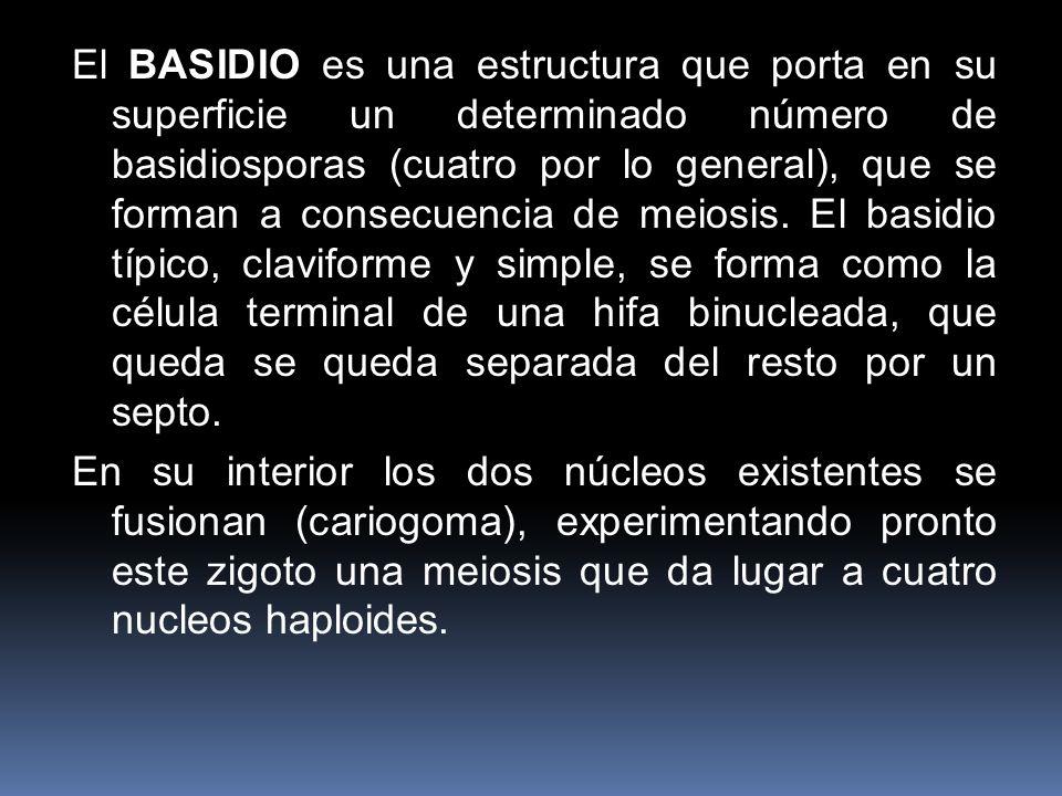 El BASIDIO es una estructura que porta en su superficie un determinado número de basidiosporas (cuatro por lo general), que se forman a consecuencia de meiosis. El basidio típico, claviforme y simple, se forma como la célula terminal de una hifa binucleada, que queda se queda separada del resto por un septo.