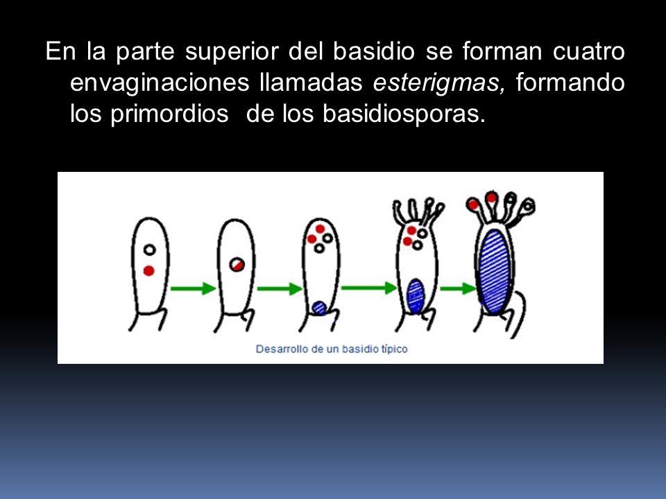 En la parte superior del basidio se forman cuatro envaginaciones llamadas esterigmas, formando los primordios de los basidiosporas.