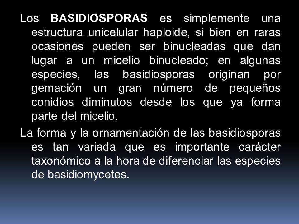 Los BASIDIOSPORAS es simplemente una estructura unicelular haploide, si bien en raras ocasiones pueden ser binucleadas que dan lugar a un micelio binucleado; en algunas especies, las basidiosporas originan por gemación un gran número de pequeños conidios diminutos desde los que ya forma parte del micelio.